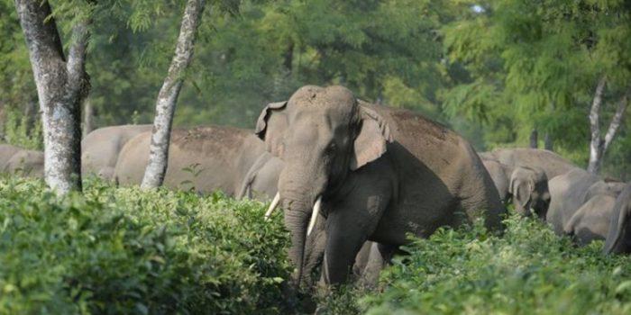 Terancam Punah Populasi Badak dan Gajah